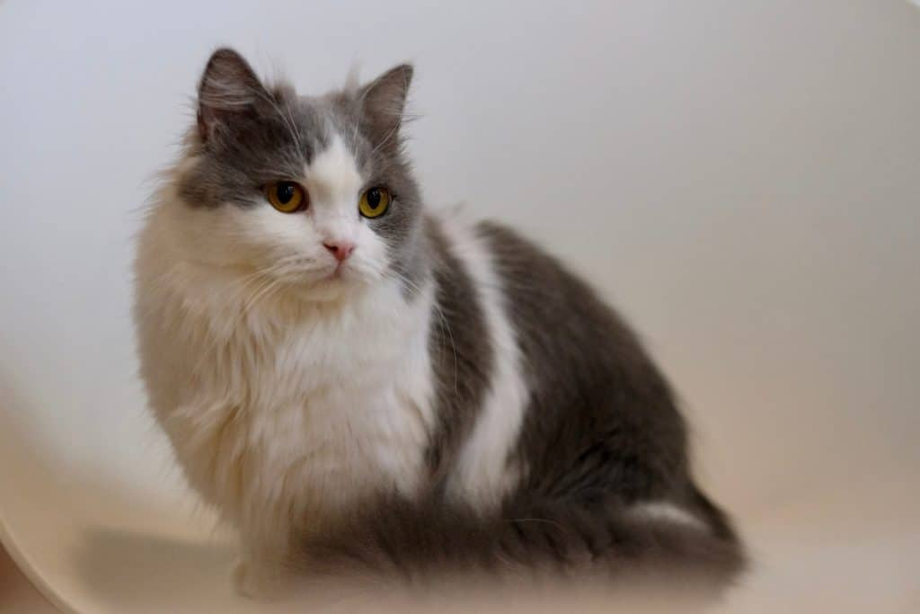 Minuet cat or also known as Napoleon cat