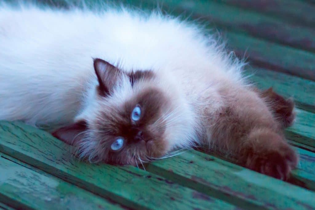 Seal point Himalayan cat