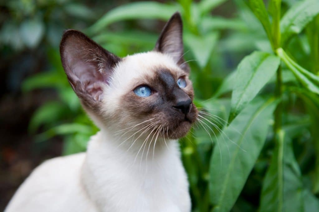 Seal point siamese cat with blue eyes watching at the distance