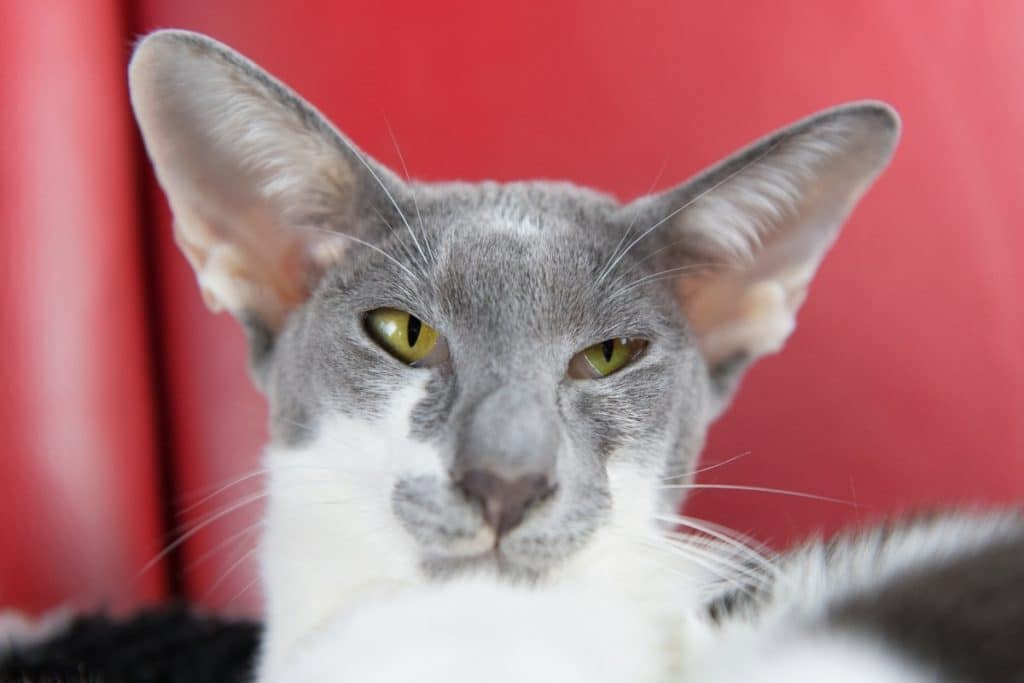 Wedge Siamese cat or Modern Siamese cat