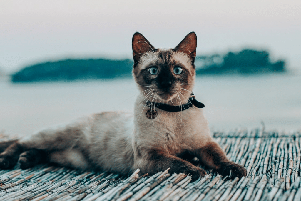 Cat breeds that get along well with Siamese cats