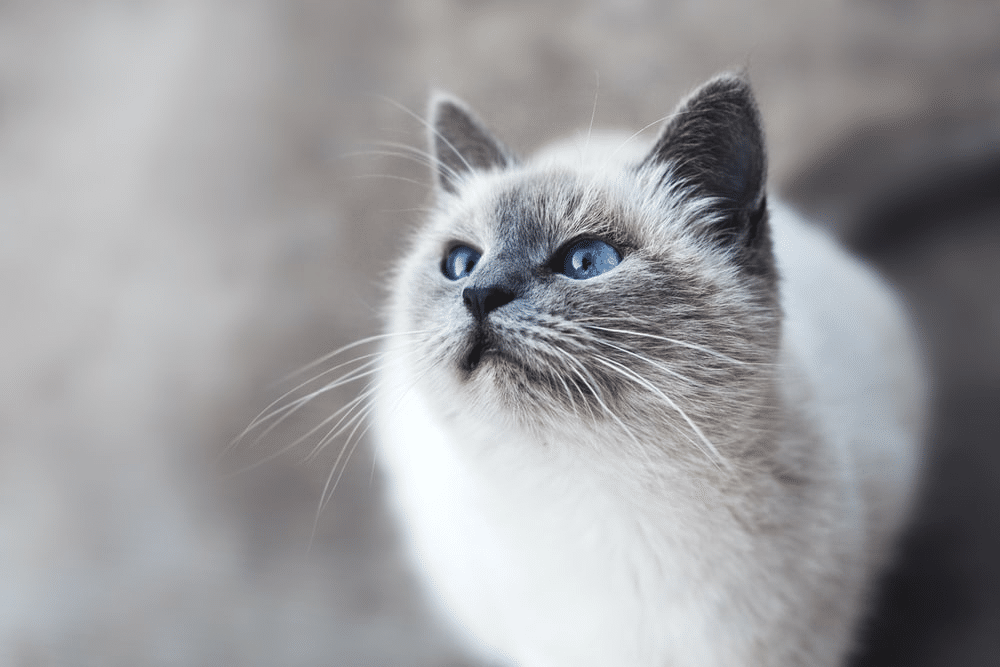 Various colors of Siamese cats