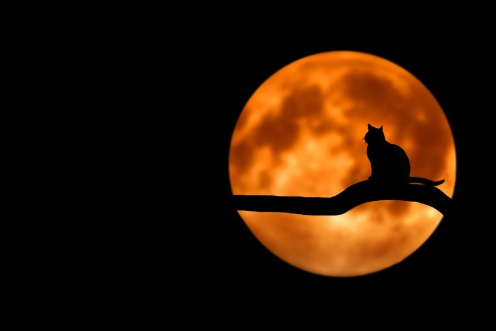 Silhouette of a flame point Siamese cat