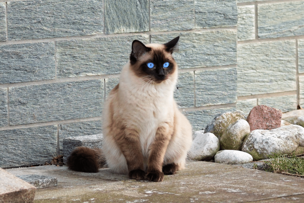 A seal point Siamese cat sitting in front of a grey wall
