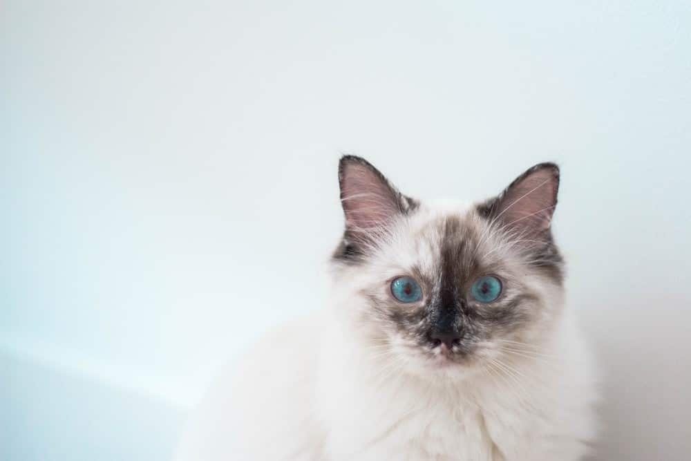 Grooming tips for long-haired Siamese cats