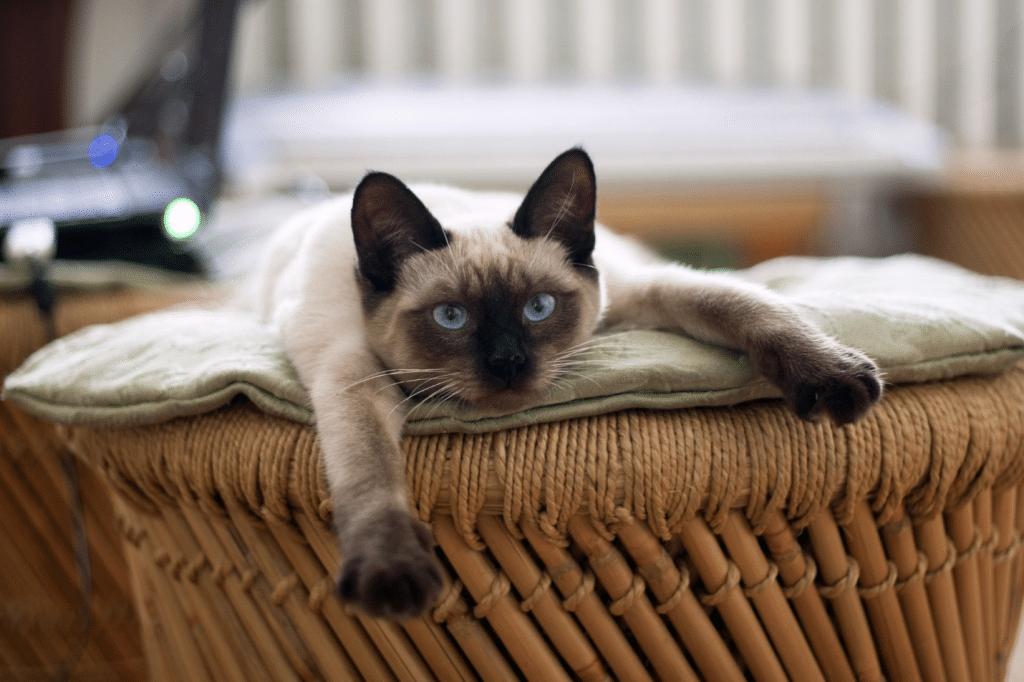 Siamese cat relaxing