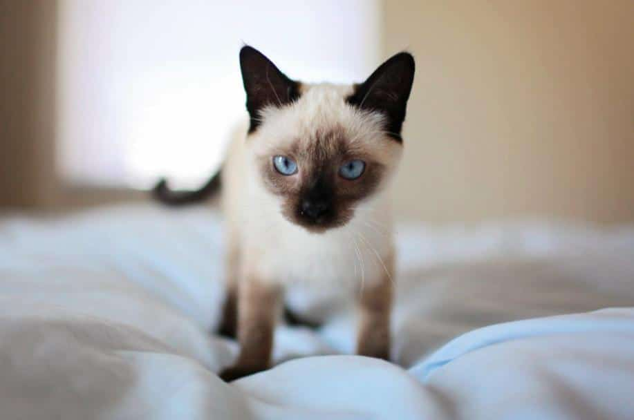 Dos and Don'ts of Introducing a Siamese Cat to Another Cat