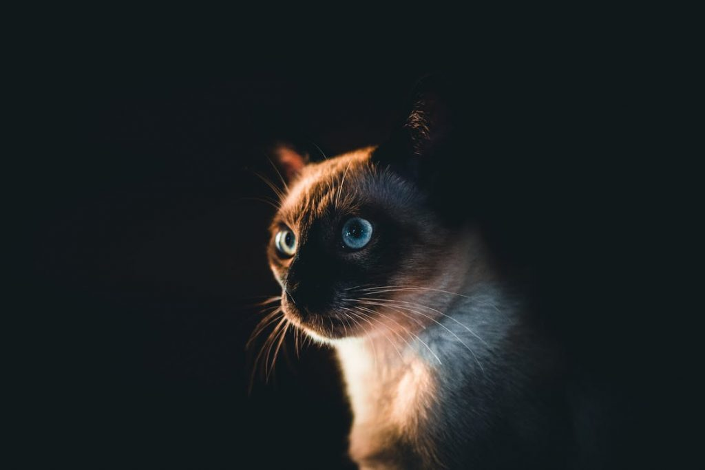 Exercises and games for Siamese cats