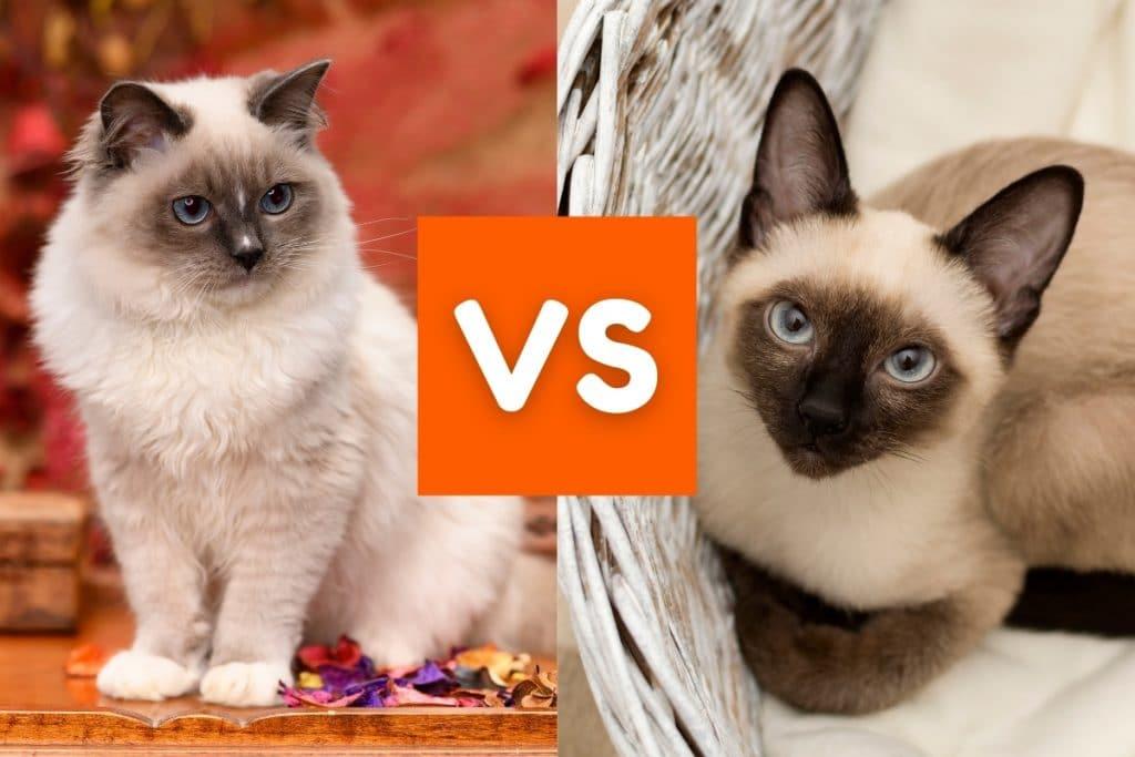 Siamese cats vs Ragdoll Cats